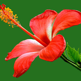 hibiscus by SANGEETA MENA  - Digital Art Things