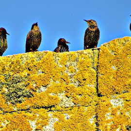 Starlings on St Keverne Church by Angie Keverne - Animals Birds ( sky, church, blue, starlings, stone, birds, lichen )