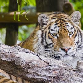 by Aleš Maučec - Animals Lions, Tigers & Big Cats