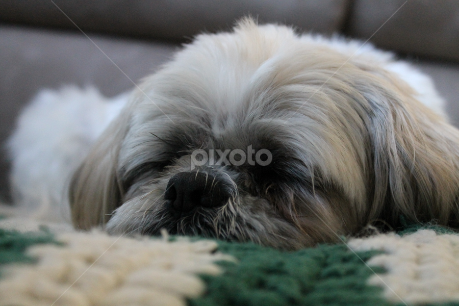 by Jessica Lunn - Animals - Dogs Portraits ( sleeping, cute, dog, portrait )