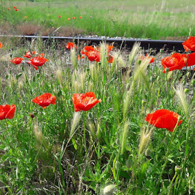 Poppies by Megi Šajn - Nature Up Close Other Natural Objects ( red, view, rails, nature, poppies )