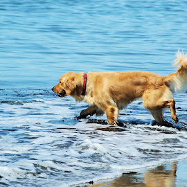 Wading into the Sea by Christine McEwan - Animals - Dogs Portraits ( cool, water, dogs, golden retrievers, wading, whidbey island, sea, ocean, beach, island, washington, washington state, bay, oak harbor, island county, gold, dog, golden retriever, cooling off,  )