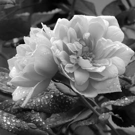 by Clare Draper - Black & White Flowers & Plants