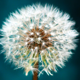 Make a Wish by Nancy Tonkin - Nature Up Close Other plants ( dandelion, wish, backyard, weeds, closeup )
