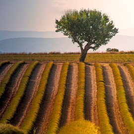 Lavendar Fields by Stanley P. - Landscapes Prairies, Meadows & Fields (  )