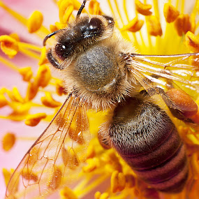 Bee by Roi Piñga - Animals Insects & Spiders ( animals, nature, bee, insects )