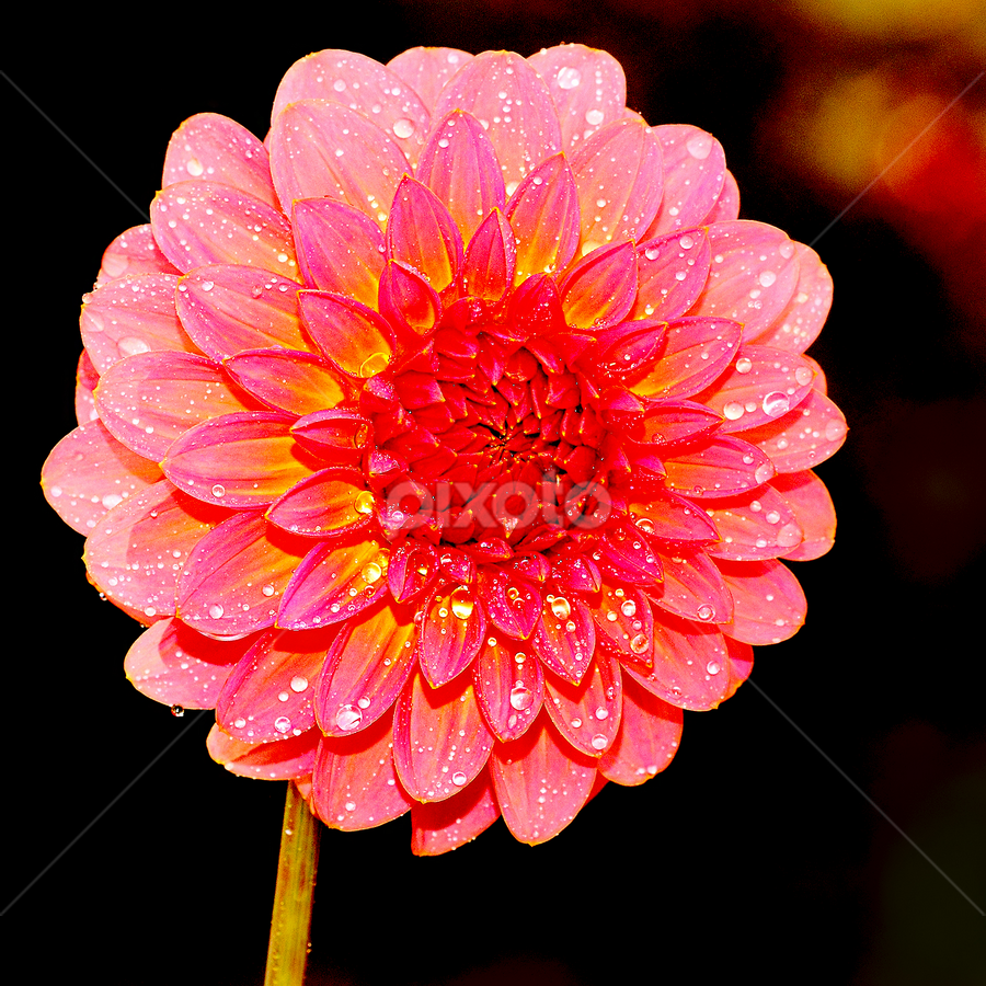 Sunshine by Gérard CHATENET - Flowers Single Flower
