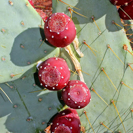 Prickly Pear  by Tony Huffaker - Nature Up Close Other plants ( fruit, cactus )
