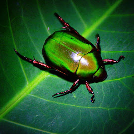by Wan Azizul Azar Aziz - Animals Insects & Spiders (  )