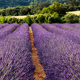 Rows of Lavender Along the Valensole Plateau, Provence, France by Stanley P. - Landscapes Prairies, Meadows & Fields