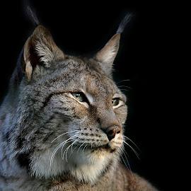 Luchs by Elke Krone - Animals Lions, Tigers & Big Cats ( schwarz, braun, ein, luchs, tierportrait, großkatze )