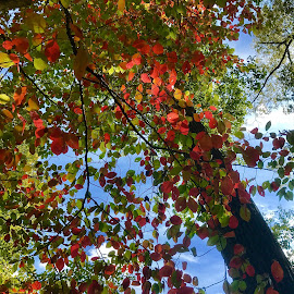 Autumn In Kentucky  by Lorna Littrell - Nature Up Close Trees & Bushes ( nature, autumn, trees, leaves, nature photo )