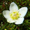 Marsh Grass Parnassus
