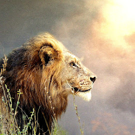Africa by Bjørn Borge-Lunde - Digital Art Animals ( wild animal, big cat, lion, wilderness, nature, wildlife, africa )