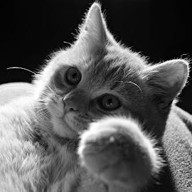 ginger  by Ira Mdt - Animals - Cats Playing ( #kitten #playingkitten #cute #blackandwhite #magiclight )