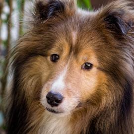 by Trent Eades - Animals - Dogs Portraits ( dog portrait, sheltie portrait, dog, sheltie )