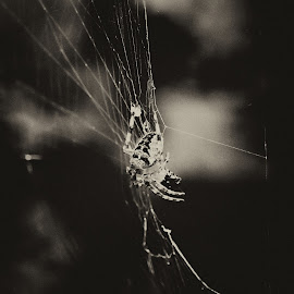 The last crusade spider. by Antonín Vystrčil - Nature Up Close Webs ( abstract, macro, cobweb, nature, crustader spider general, black and white, crusade spider, spiderweb, nature up close, spider, spideweb, spider web )