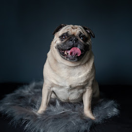 Pug Portrait by Tanya Greene - Animals - Dogs Portraits ( pug, happy, dark, canine, fawn, dog )