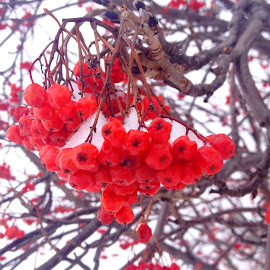 Winter Berry by Kimberly Morehouse - Nature Up Close Trees & Bushes