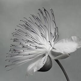 by Boris Buric - Black & White Flowers & Plants