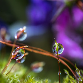 After the rain by Sharon Carse - Nature Up Close Natural Waterdrops ( rain, macro, waterdrops, raindrops, macro photography,  )