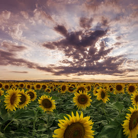 sunflowers in the sun panorama by Grigor  Ivanov - Landscapes Sunsets & Sunrises ( plant, countryside, vivid, sunflower, beauty, vibrant, yellow, sun, panorama, crop, blossom, farm, pasture, backlit, sky, nature, sunny, wellbeing, sunshine, ecology, light, flower, orange, tone, flora, beautiful, agriculture, bloom, sunlight, rural, field, color, sunset, background, meadow, healthy, cloud, summer, view, harvest, natural, floral )