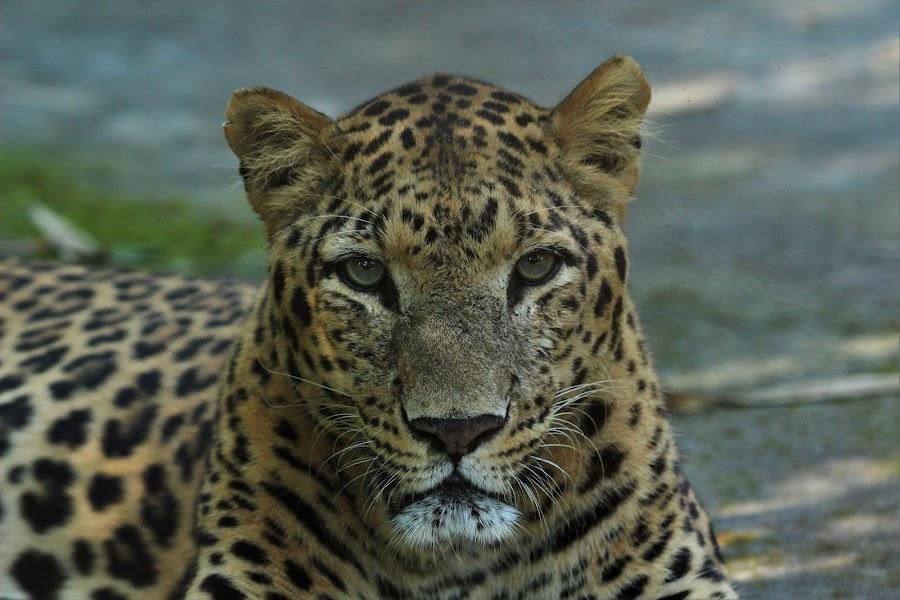 by Mantosh Kumar - Animals Lions, Tigers & Big Cats (  )