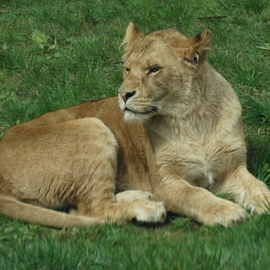 lion by Iain Weatherley - Animals Lions, Tigers & Big Cats (  )