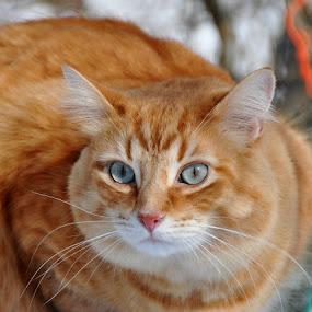 Mr. Pumpkin  by Debbie Johnson MacArthur - Animals - Cats Portraits ( c )