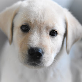Labrador puppy by Rob Ebersole - Animals - Dogs Puppies