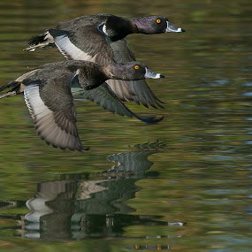 Synchronized by Dave . - Animals Birds ( water, waterfowl, nature, ducks, wildlife, ring-necked ducks, pond, in flight )