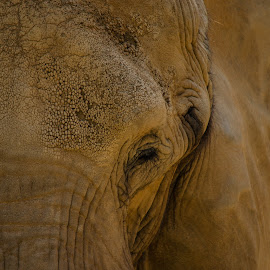 Feel by Mark Halliday - Animals Other Mammals ( feeling, texture, elephant, nature close up, mammal )