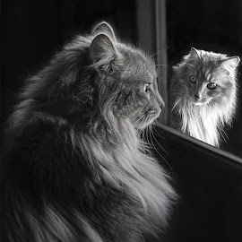 Inside Looking Out by Debra Sharp - Uncategorized All Uncategorized ( mirrors, cat, black and white, night )