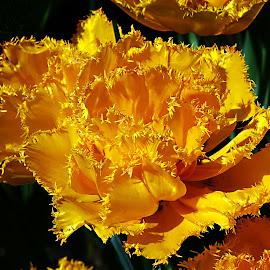 Yellow Tulip by Dee Haun - Flowers Single Flower ( single flower, keukenhof, tulip, yellow, flowers, 150513$1720ce22,  )