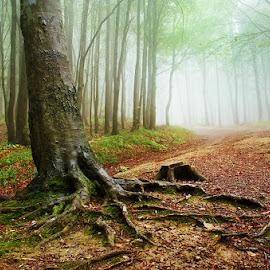 20170916-DSC_1706 by Zsolt Zsigmond - Landscapes Forests ( plant, green color, mystery, spooky, forest, leaf, sunlight, landscape, light - natural phenomenon, magic, tree, nature, season, autumn, fog, outdoors, branch, woodland, sunbeam, mist )