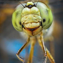 Eyes of DragonFly by Gaurav Madhopuri - Novices Only Macro ( canon, punjab, nature, macor, wildlife, india, eyes )