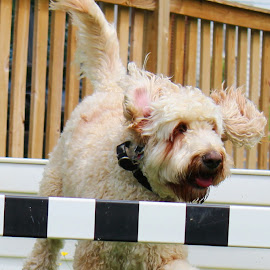 Buddy on a Romp by Cecilia Sterling - Animals - Dogs Running ( canine, romping, goldendoodle, dog, running )