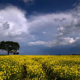 20160508-DSC_3453 by Zsolt Zsigmond - Landscapes Prairies, Meadows & Fields ( field, clouds, rapeseed, sky, tree, canola, yellow, landscape, spring, flower )