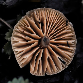 Mushroom Gills by Alina Jumabhoy - Nature Up Close Mushrooms & Fungi ( mushroom, wild, macro, fungi, nature )