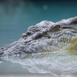 by Steven Aicinena - Animals Reptiles (  )