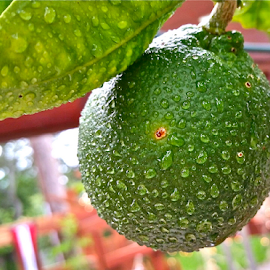 { Fresh Green Oranges with rain drops ~ June 20 }  by Jeffrey Lee - Nature Up Close Gardens & Produce ( { fresh green oranges with rain drops ~ june 20 } )