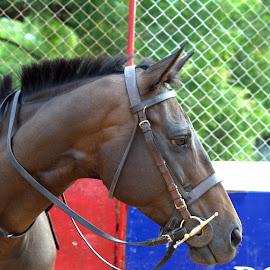 by Venket  Ramana - Animals Horses