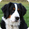 Download Bernese Mountain Pack 2 LWP APK