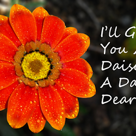 I'll Give You A Daisy A Day Dear by Kris Pate - Typography Quotes & Sentences