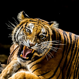 Angry Tiger by Kusal Gautamadasa - Animals Lions, Tigers & Big Cats ( tiger, angry )