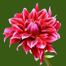 DAHLIA by SANGEETA MENA  - Flowers Single Flower