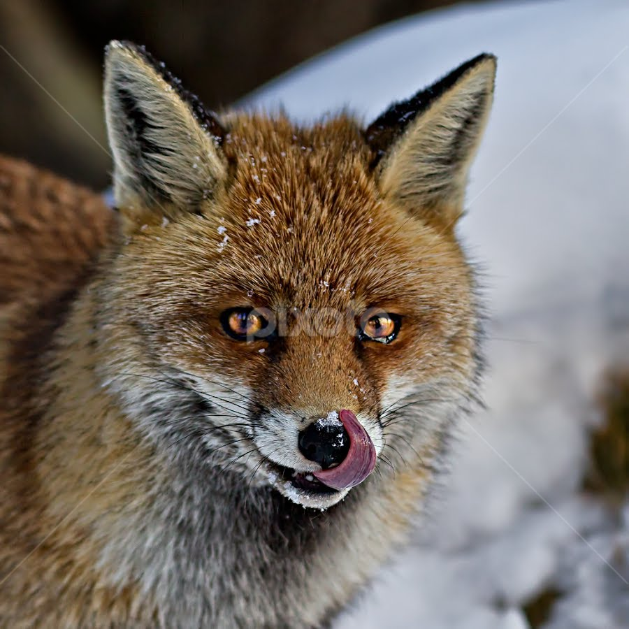 The fox by Alberto Carati - Animals Other Mammals