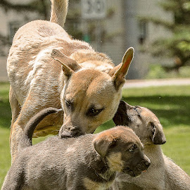 by Lynn Hackman - Animals - Dogs Puppies ( playing, licking, puppies, dogs, grass, puppy, dog )