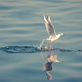 Walking on the water by Booba Booba - Animals Birds ( seagull, djerba, preparing to fly, pwctaggedbirds, birds )