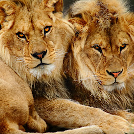 Brothers by Gérard CHATENET - Animals Lions, Tigers & Big Cats